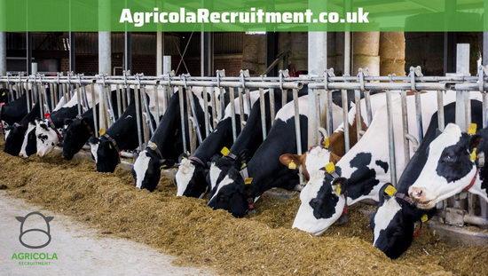 Farm munka tehenészetben, szállással – Észak-nyugat Anglia, Cheshire